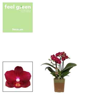 Phal. Crimson - 3 spike 9cm Feel Green