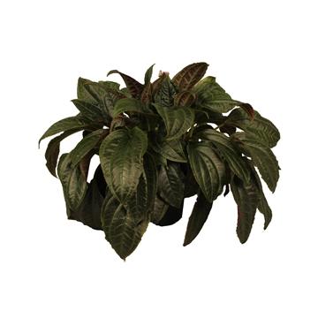 Monolena ''primuliflora''