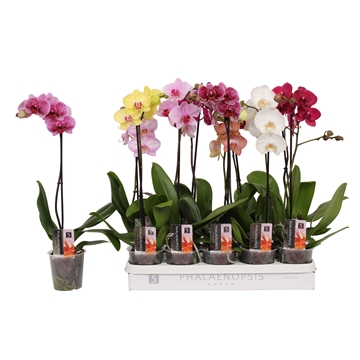 Phalaenopsis 5 color mix, 1-spike 6+