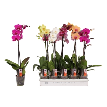 Phalaenopsis 5 color mix, 1-spike 9+/branched