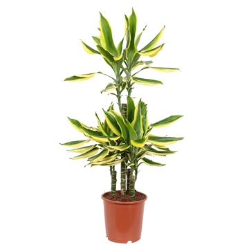Dracaena Golden King, 21 cm pot