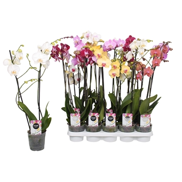 Phalaenopsis Star Mix, 2-spike 12+