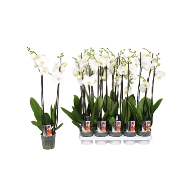 Phalaenopsis Star White, 2-spike 12+