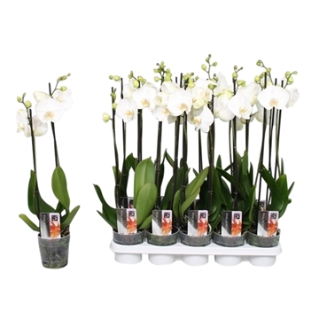 Phalaenopsis Snow Star, 2-spike 10+