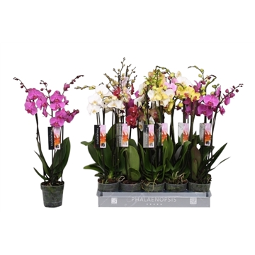 Phalaenopsis 5 color mix, 3-spike 18+