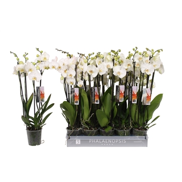 Phalaenopsis color white, 4-spike 25+