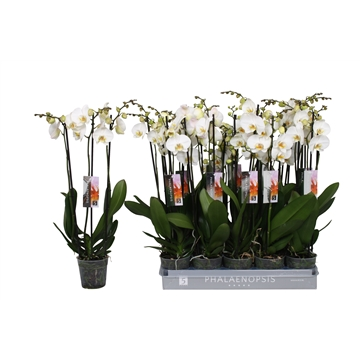 Phalaenopsis color white, 3-spike 18+