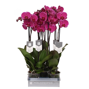 Phalaenopsis Joy Ride, 2-spike 18+