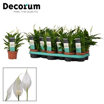 Spathiphyllum 10,5 cm Rondo Decorum