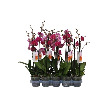Phalaenopsis purple, 2-spike 14+