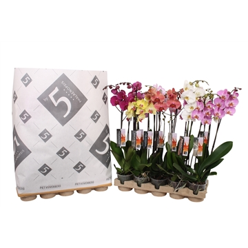 Phalaenopsis 2-spike mix in pulp tray