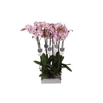 Phalaenopsis Spotted World, 2-spike 18+