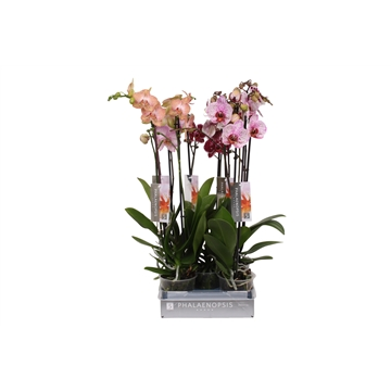 Phalaenopsis Specialty mix, 2-spike 18+