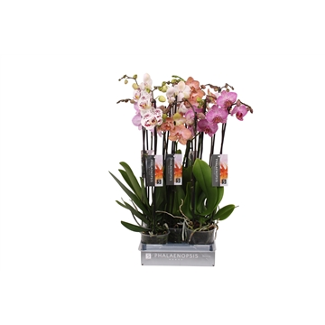 Phalaenopsis Specialty mix, 3-spike 22+