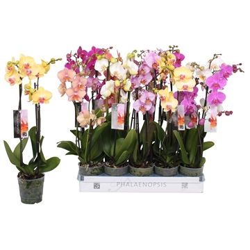 Phalaenopsis 6 color mix, 2,5-spike 18+