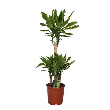 Dracaena Golden Coast, 21 cm pot