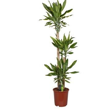 Dracaena Golden Coast, 24 cm pot