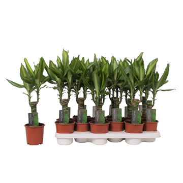 Dracaena Mass Coast, 11 cm pot