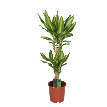 Dracaena Mass Coast, 17 cm pot
