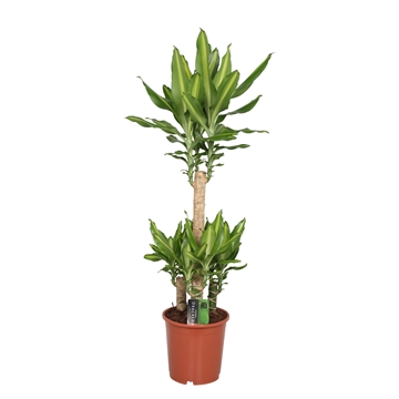 Dracaena Mass Coast, 21 cm pot