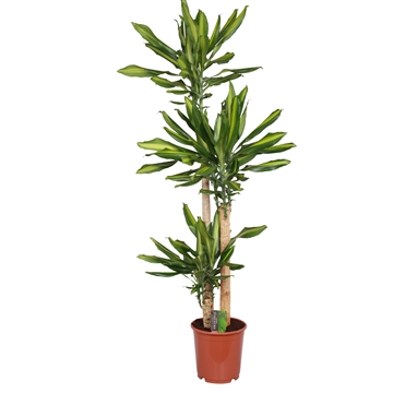 Dracaena Mass Coast, 24 cm pot