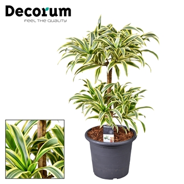 Dracaena Song of India bush (Decorum)
