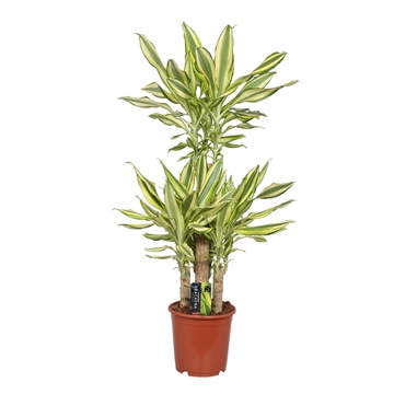 Dracaena Yellow Coast, 21 cm pot