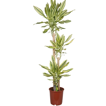 Dracaena Yellow Coast, 24 cm pot