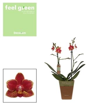 Phal. Bowdion - 2 spike 12cm Feel Green