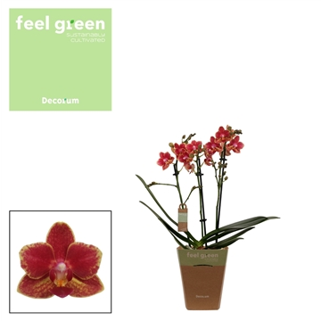 Phal. Bowdion - 3 spike 12cm Feel Green