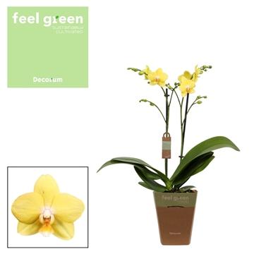 Phal. F2351 - 2 spike 12cm Feel Green