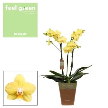 Phal. F2351 - 3 spike 12cm Feel Green