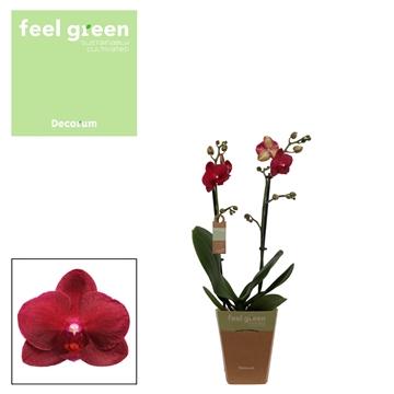 Phal. Relex - 2 spike 12cm Feel Green