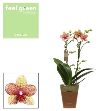 Phal. Grosseto - 2 spike 12cm Feel Green