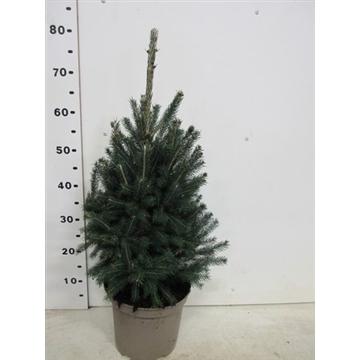 Picea glauca Super Green 40-50 cm, P23