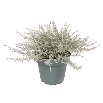 Helichrysum Italicum Helifresco laagblijvend