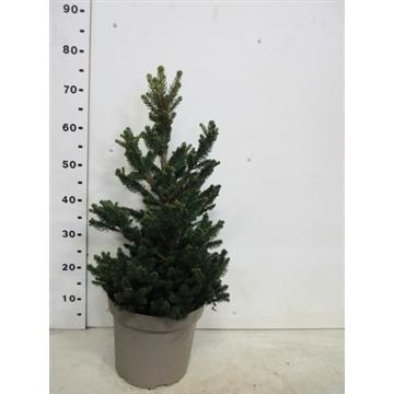 Picea abies Will's Zwerg 50-70 P26