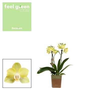 Phal. Lemongrass - 2 spike 9cm Feel Green