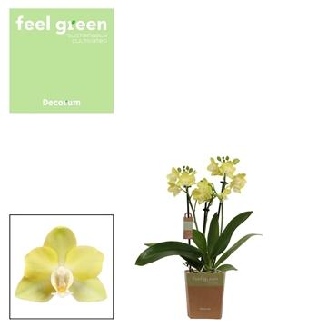 Phal. Lemongrass - 3 spike 9cm Feel Green