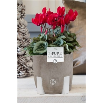 Cyclamen SS Picasso Rood Jade