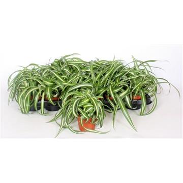 Chlorophytum Bonnie 8,5