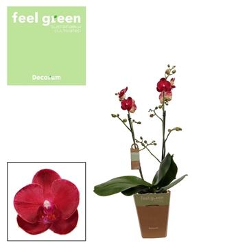 Phal. Ruyi Rose - 2 spike 12cm Feel Green