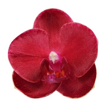 Phal. Ruyi Rose - 2 spike 12cm