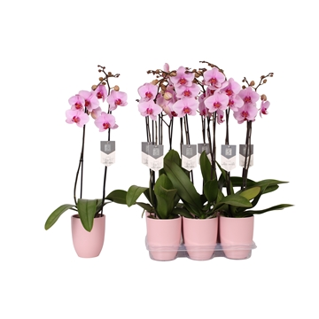 Phalaenopsis Washington, 2-spike 18+ Pink Ceramics