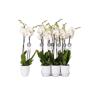 Phalaenopsis White World, 2-spike White Ceramics