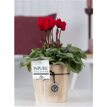 Cyclamen SS Picasso Rood Wood PC