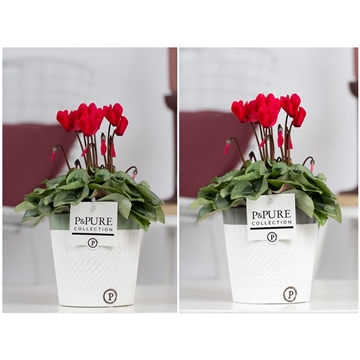 Cyclamen SS Picasso Rood in Valerie