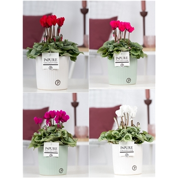 Cyclamen SS Picasso mix in Sophie Ceramics