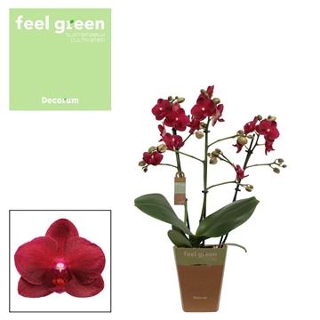 Phal. Relex - 3 spike 12cm Feel Green