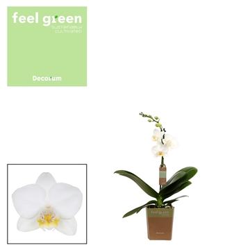 Phal. Snowflake - 1 spike 12cm Feel Green